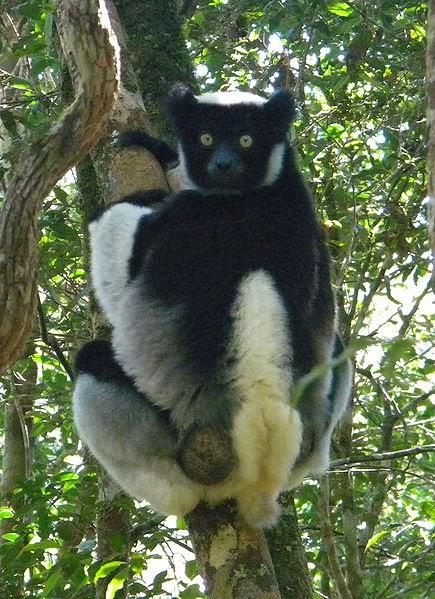 Indri Animal con i