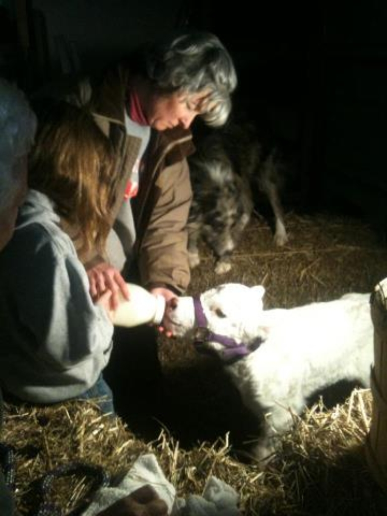 awesome Www.theprairiehomestead.com Part - 9: Bottle Calf 101: 5 Tips for First-Time Bottle Calf Mamas
