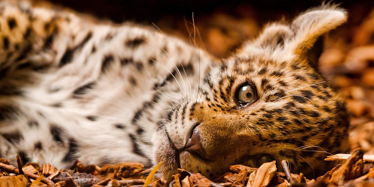 Feline Leopards l 300+ Muhteşem HD Twitter Kapak Fotoğrafları