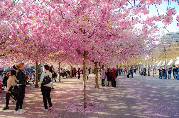 Natural Sakura