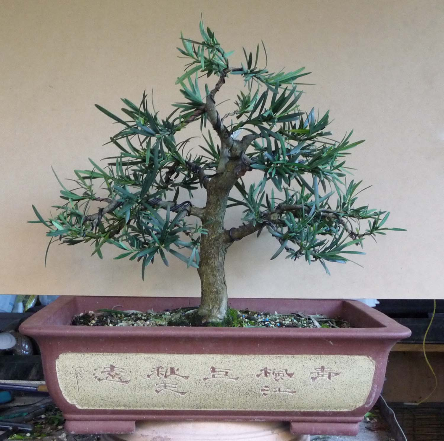 Redlands Bonsai Society Podocarpus Update