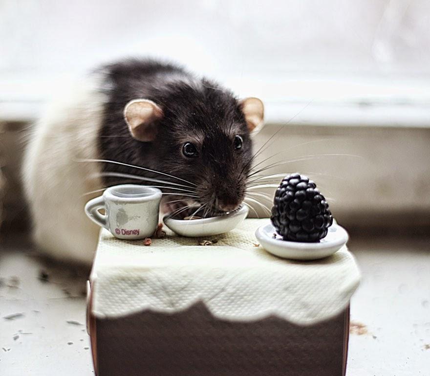 rato a comer