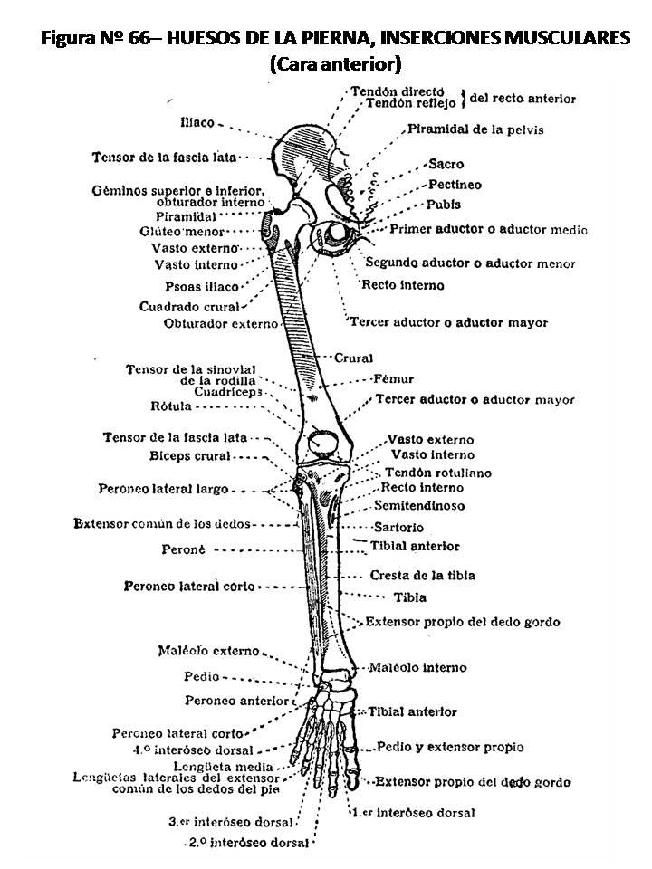 ATLAS DE ANATOMÍA HUMANA: 66. HUESOS DE LA PIERNA» INSERCIONES ...