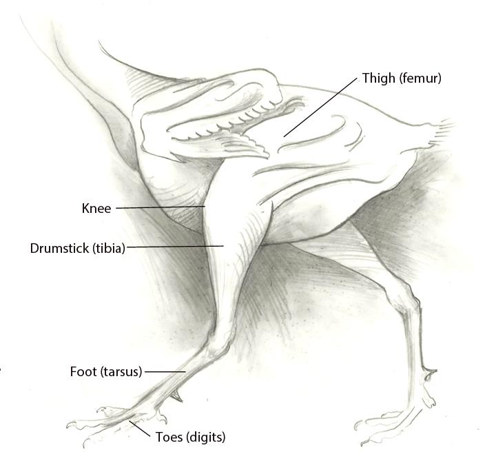 Sandy Scott Art: #414 In the studio: Bird anatomy, con\'t . . .