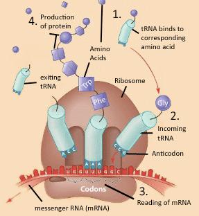 translation mrna to protein diagram juanribon  : dna translation diagram - findchart.co