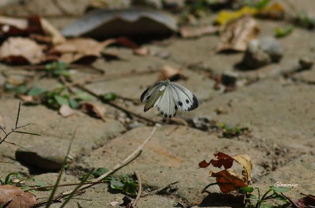 雞南山台灣紋白蝶