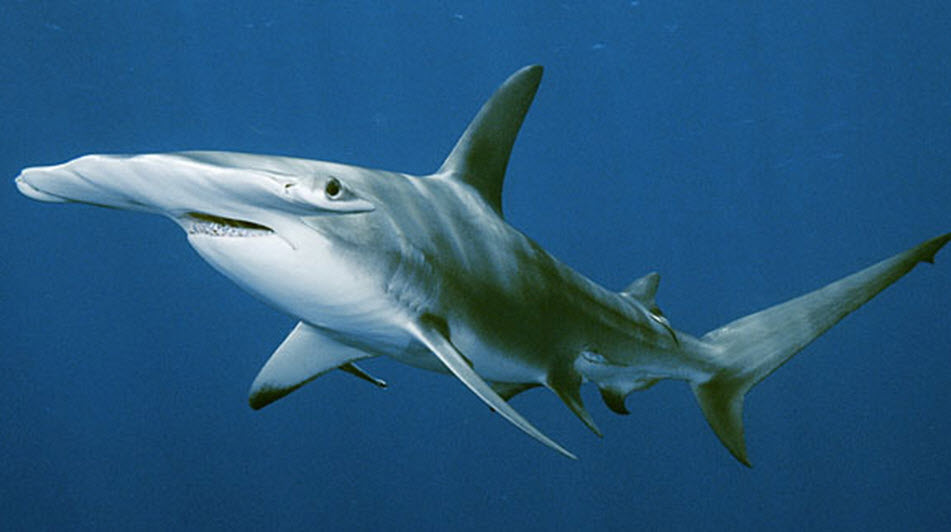 Hammerhead shark - photo#3