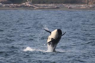 Breaching baby orca! Crazy breaching salmon!