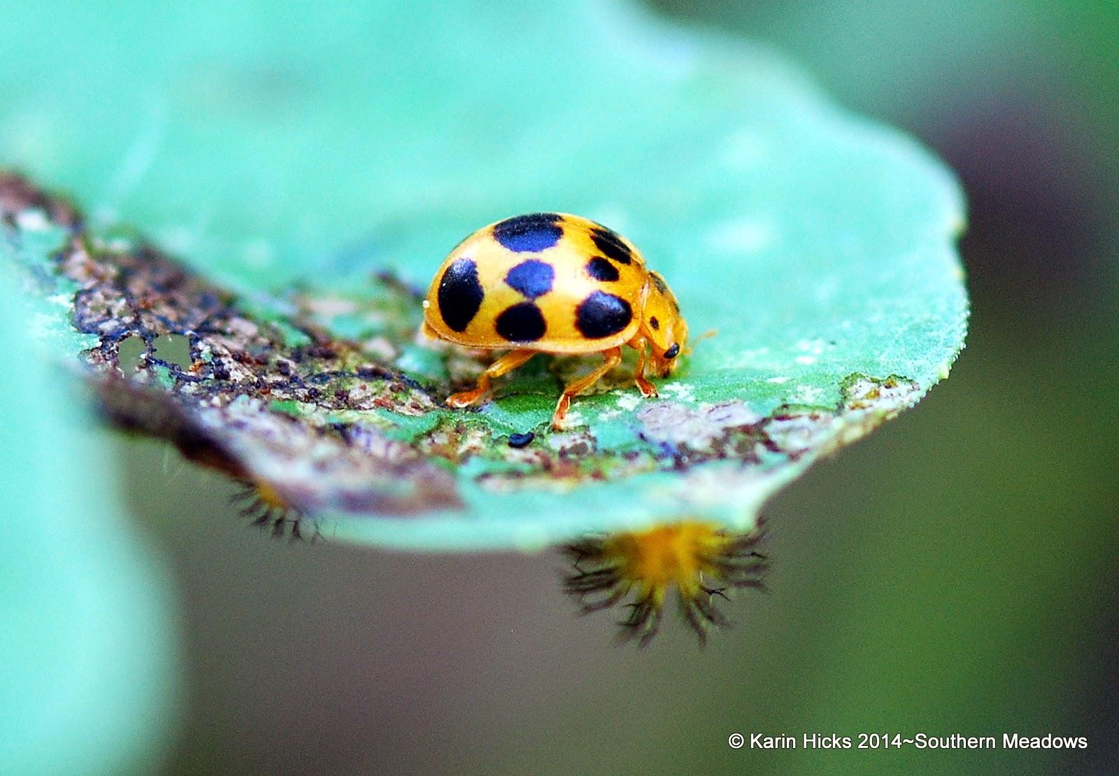 adult squash beetle on cucurbit with larvae on underside of leaf