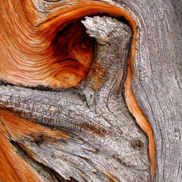 عينات '' لاقدم شجرة'' في العالم بالصور 6_bristlecone_close-upCropperCapture-1-.img_assist_custom-600x601