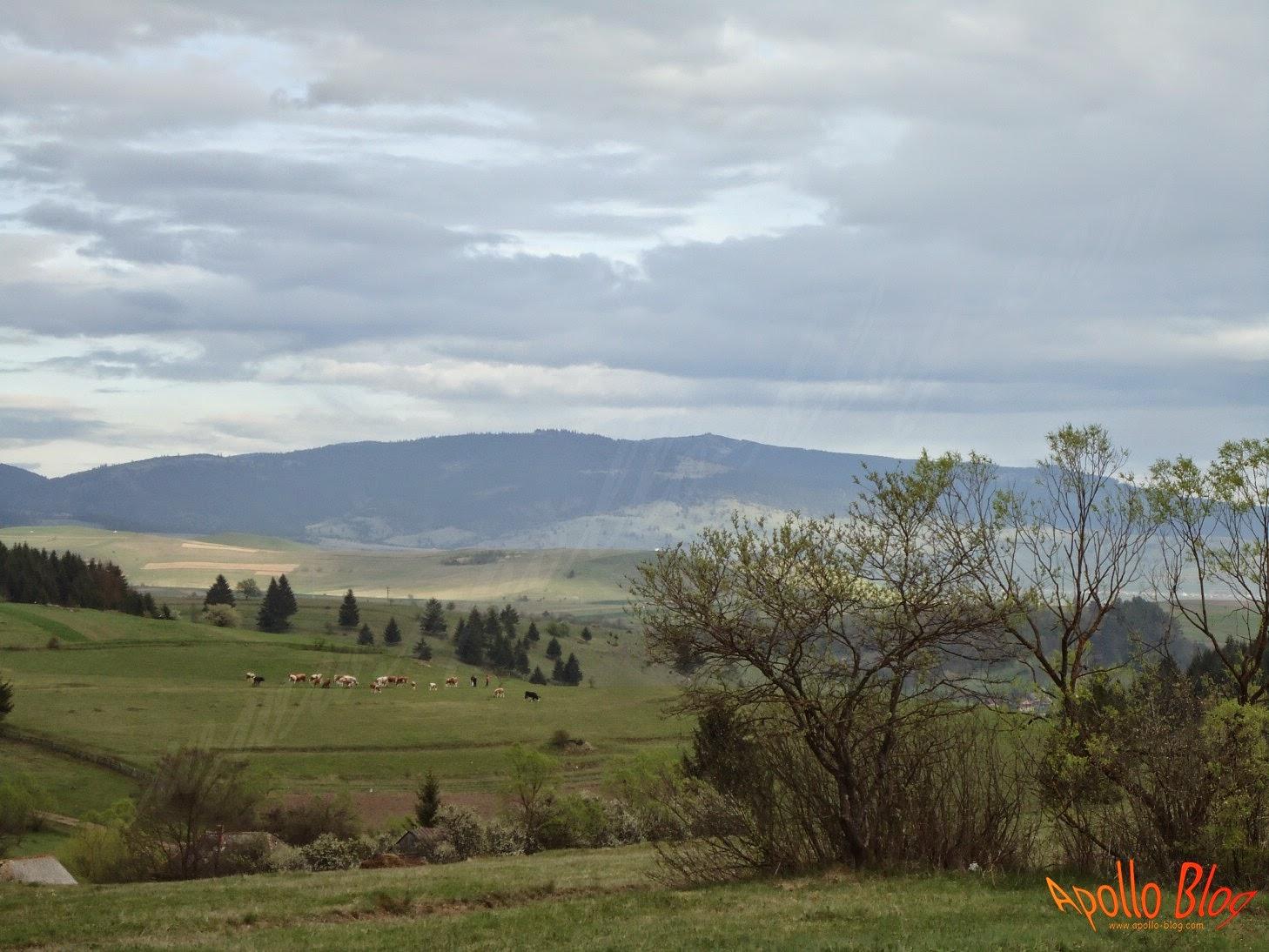 Vaci la pascut in satul Filpea