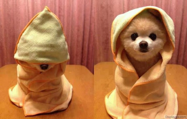 Cute Pomeranian puppy hiding in shawl