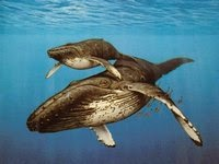 Самым большим представителем китов является самка синего кита.