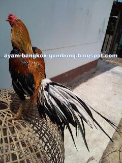 Makanan Pokok Ayam Bangkok / Ayam Aduan