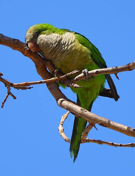 Green Parakeet (Aratinga holochlora) resting after lunch