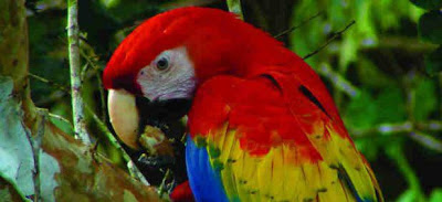 Scarlet Macaw - Costa Rica Bird Watching at Rainforest Adventures