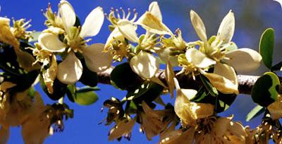 arboles de Argentina palo santo Bulnesia sarmientoi