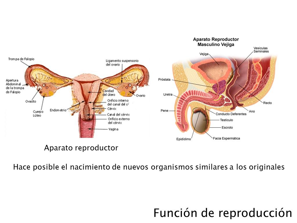 http://cplosangeles.juntaextremadura.net/web/edilim/tercer_ciclo/cmedio/las_funciones_vitales/la_funcion_de_reproduccion/los_caracteres_sexuales/los_caracteres_sexuales.html