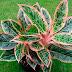 jenis tanaman hias dalam ruangan ( indoor )