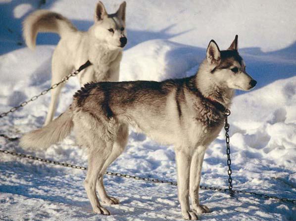 Ben noto alla ricerca del Siberian Husky: False credenze sul Siberian Husky HK94