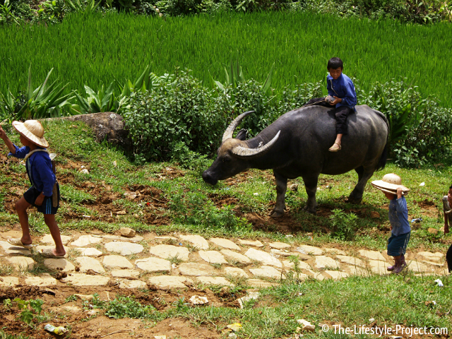 Vietnamese-Water-Buffalo