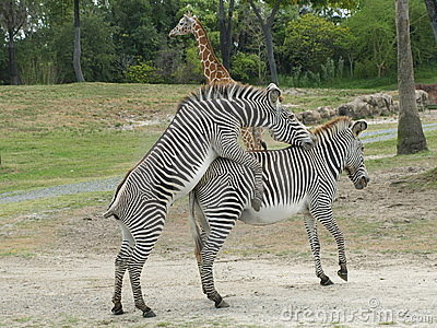 Zebras mating - photo#12