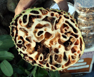 Khasiat sarang semut bagi kesehatan...!!!