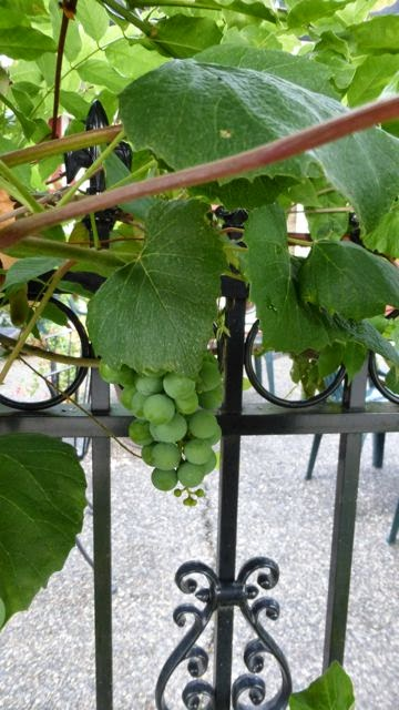 cluster of grapes growing on a fence