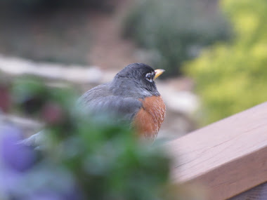 Robin Redbreast on Deck Railing