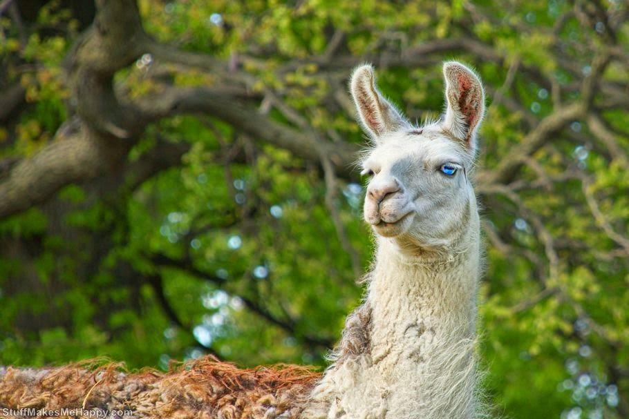 Alpaca or llama  (Photo by Tambako The Jaguar)