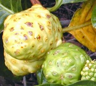 Manfaat buah mengkudu yang luar biasa