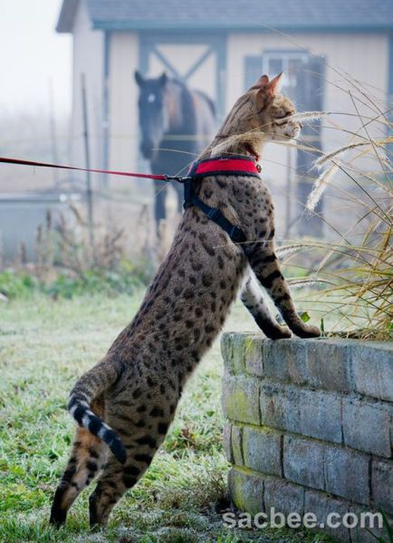 Waiting BD: The Tallest Cat in the World (13 Pictures)