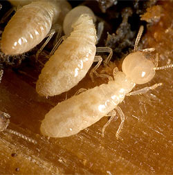 white colored drywood termites
