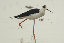 Black-winged Stilt_2011