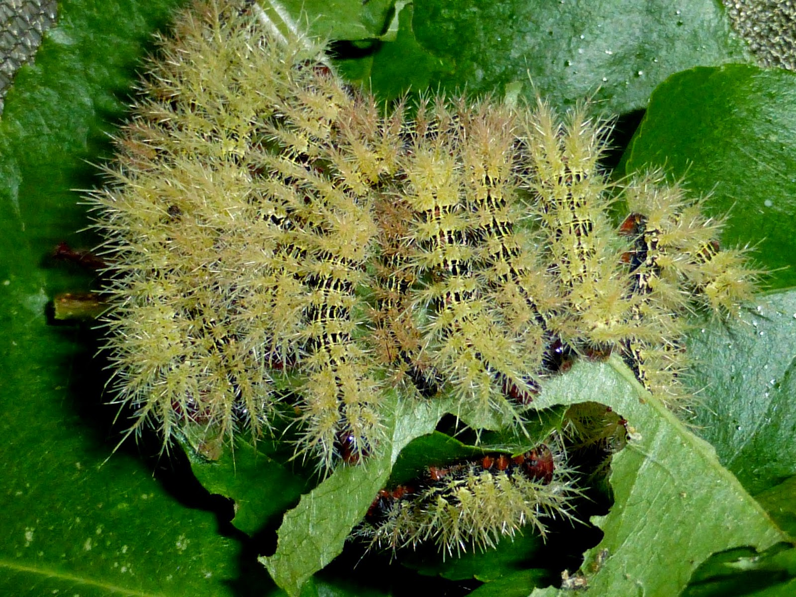 Automeris naranja caterpillars L4