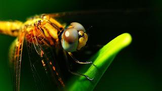 Ojos de las libélulas