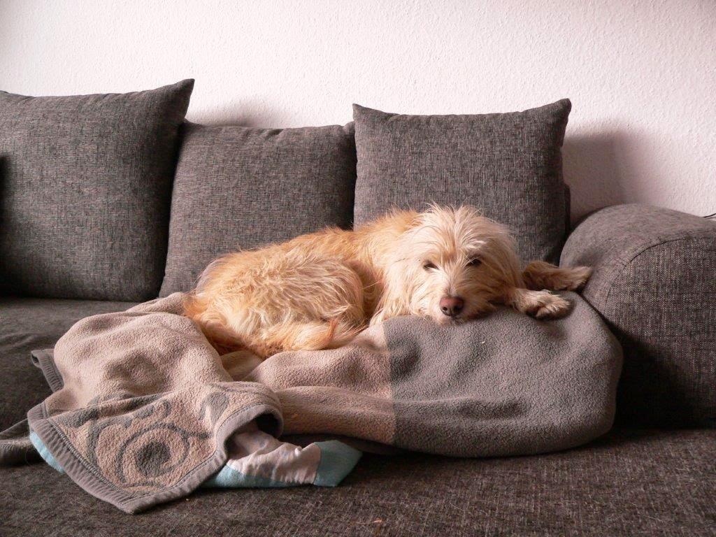 Hund Entspannung Sofa