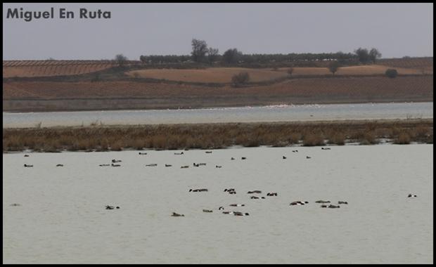 Patos-Laguna-de-Manjavacas