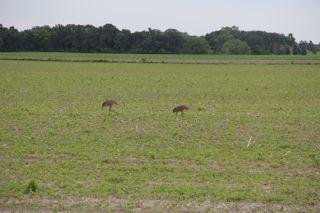 photo of summer sandhill cranes