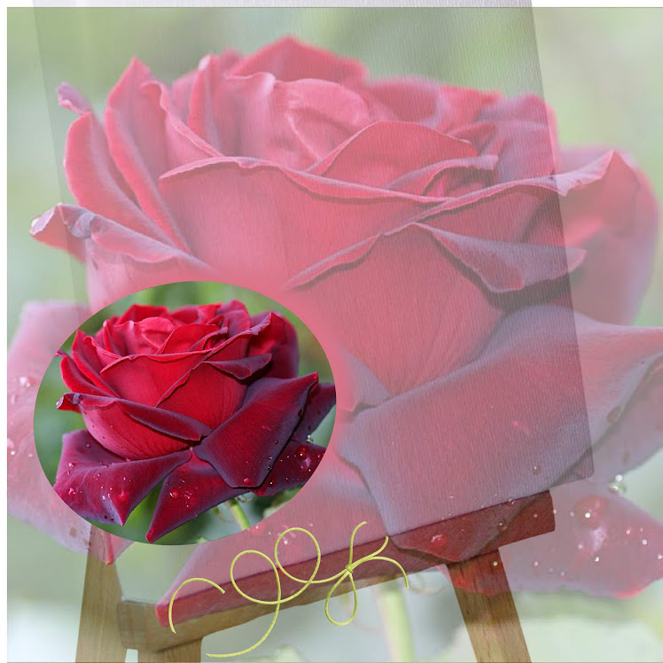 Rose rouge fond transparent