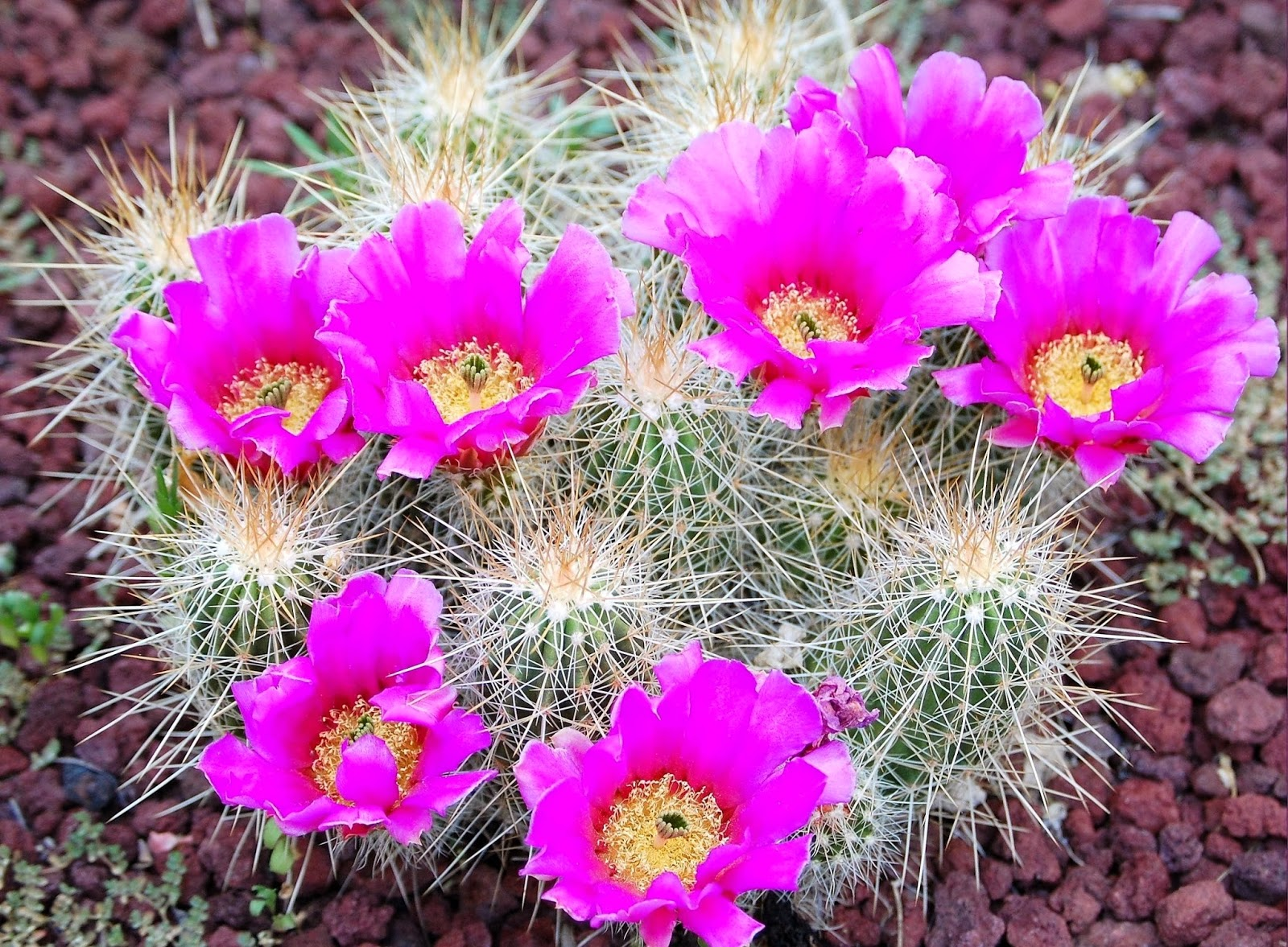 Cactus flower wallpaper puter free beautiful desktop wallpapers 2014