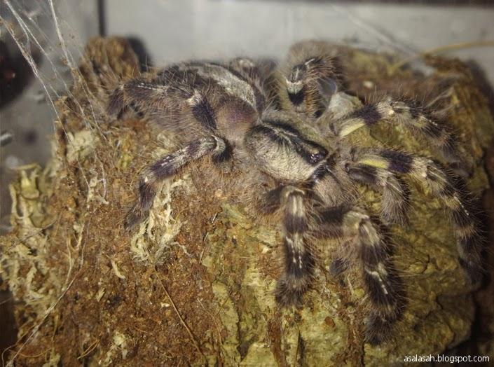 http://asalasah.blogspot.com/2014/02/hii-laba-laba-raksasa-di-srilanka-sebesar-kepala.html