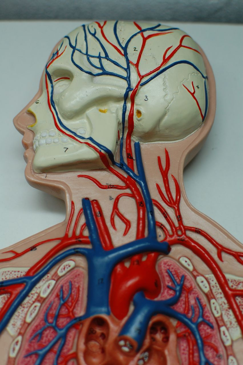 Human Anatomy Lab: Arteries and Veins