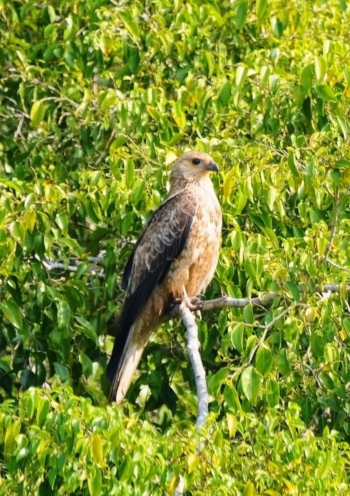 Spotted Harrier_5525