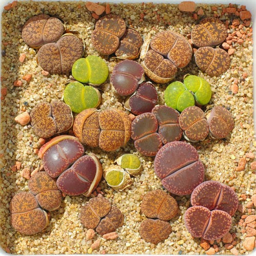 24kinds 720 Lithops Seeds Rare Exotic Bonsai Potted Plants Succulents Seeds Hot