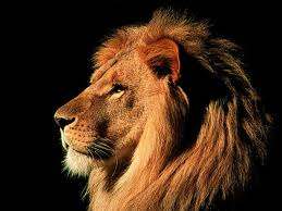 A side facing lion