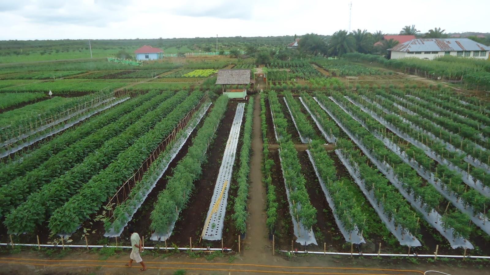 Lembar Informasi Materi Penyuluhan Pertanian Kelapkeliplampune