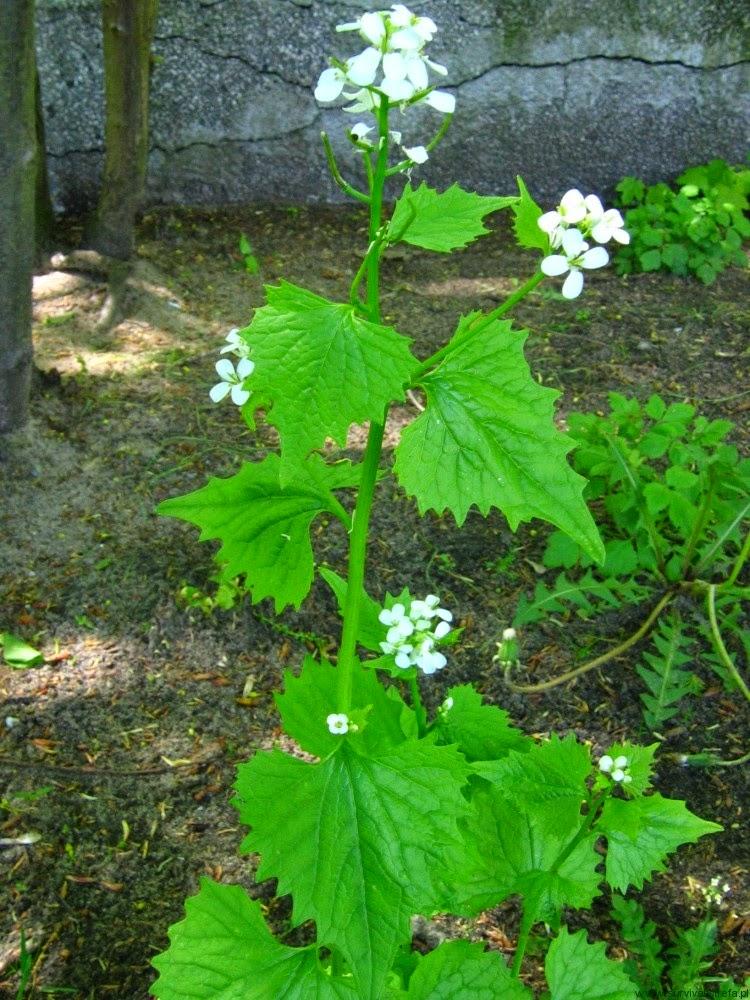 CZOSNACZEK POSPOLITY Alliaria petiolata