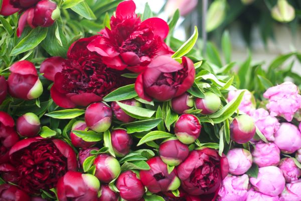 Peonies Season peony season in paris
