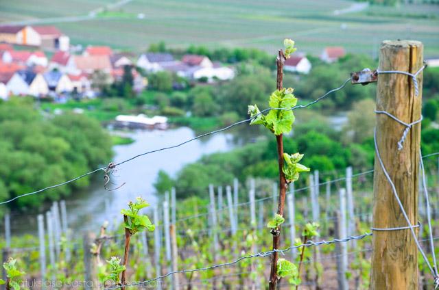 viinitarha saksassa